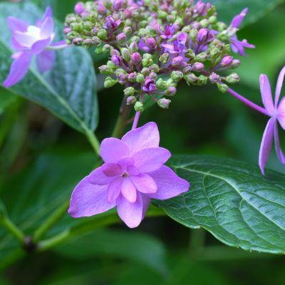 紫陽花9.jpg